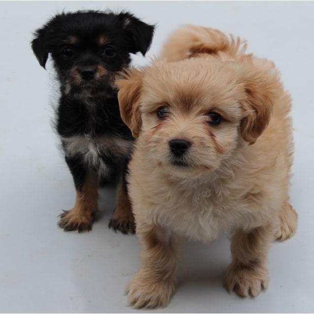 Billie Small Female Maltese X Poodle X Shih Tzu Mix Dog In Qld