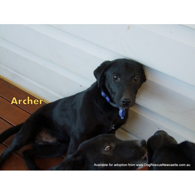 Photo of Archer (New Profile Made)~ Male Kelpie X