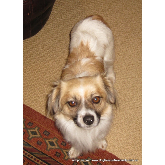 Photo of Mia (Relisted) ~ Tibetan Spaniel