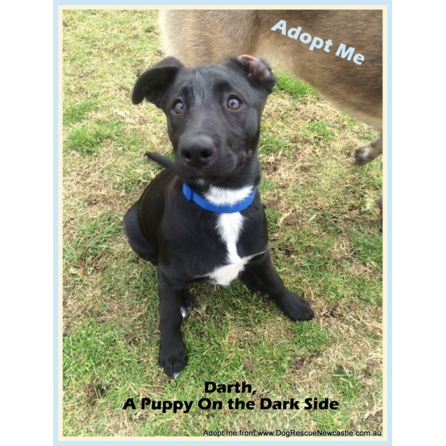 Photo of Darth (Adopted 10/2014) ~ Lab X Kelpie Puppy