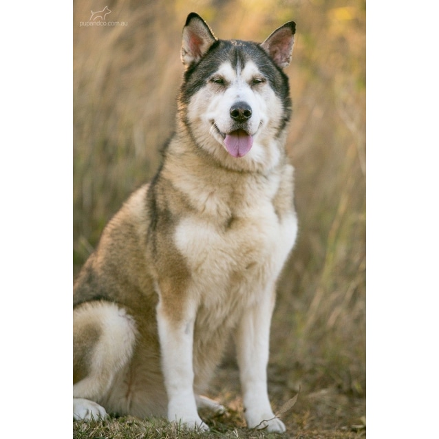 german shepherd malamute mix