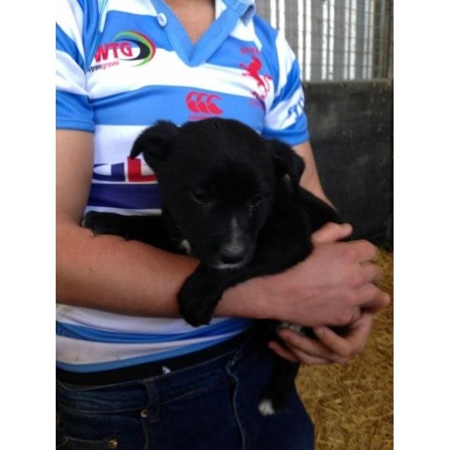 Border Collie/Kelpie/Cattle Dog pups - Medium Male Border