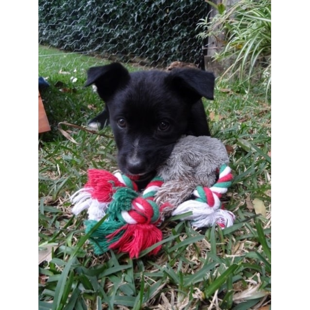 Border Collie/Kelpie/Cattle Dog pups - Medium Male Border
