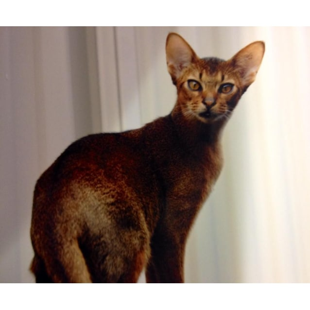Abyssinian Cat Rescue