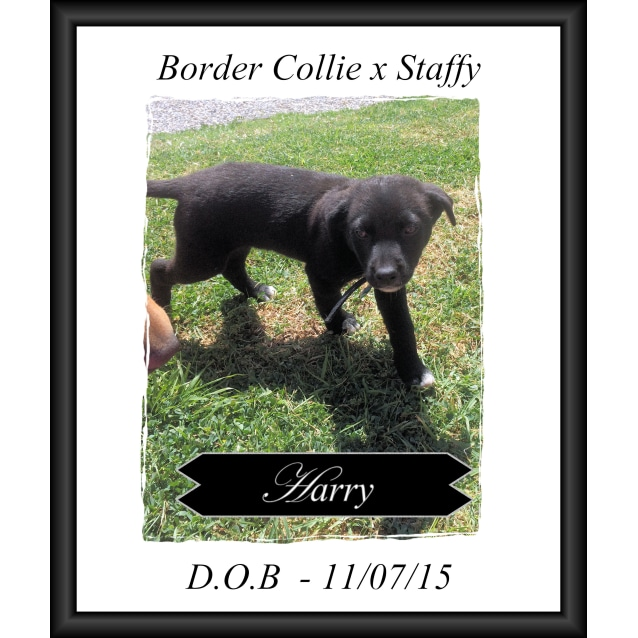 Photo of Harry ~ Border Collie X Staffy Pup (Trial 7/12/15)