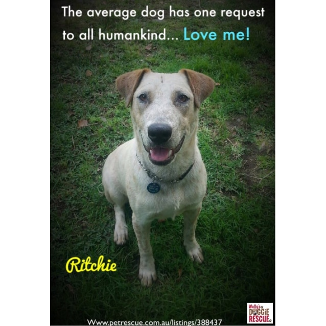Photo of Ritchie (Obedience Training/Agility/Flyball)