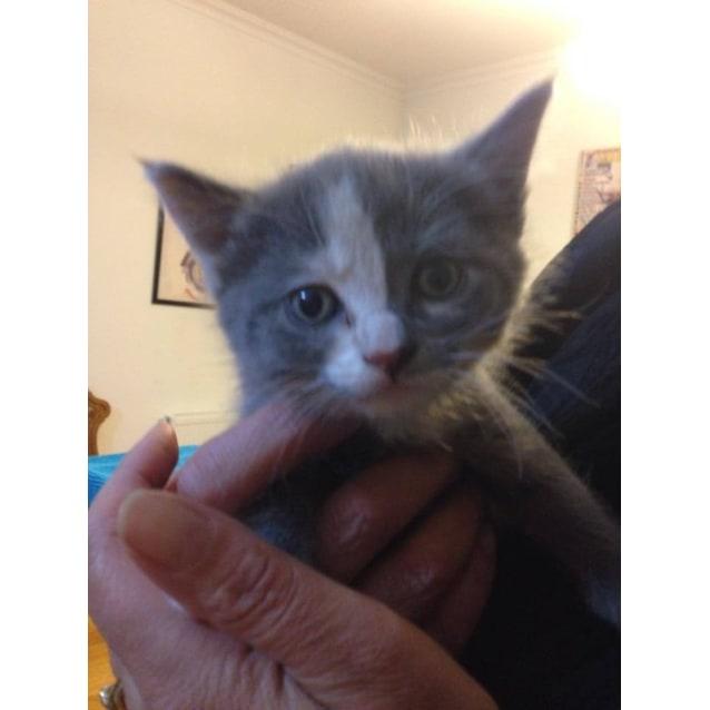 Photo of Ellie (Gorgeous Kitten In Coburg)