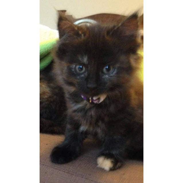 Photo of Miya (Sweet Kitten In Coburg)