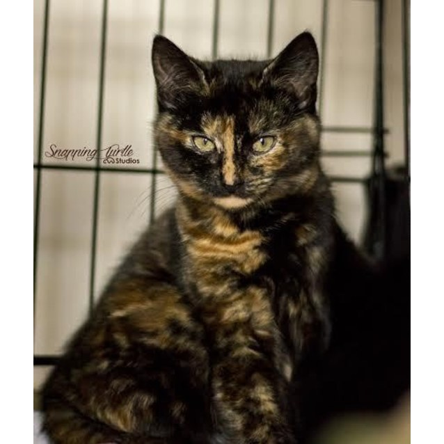 Photo of Zara (Adorable Torti Kitten In Airport West)