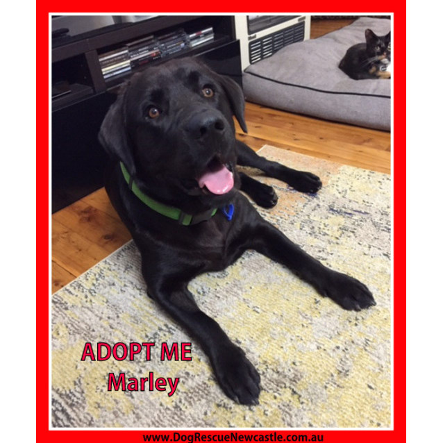 Photo of Marley ~ Labrador (On Trial 11/10/15)