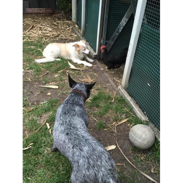 Photo of Blu ~ Cattle Dog X Kelpie (Trial 10/12/15)
