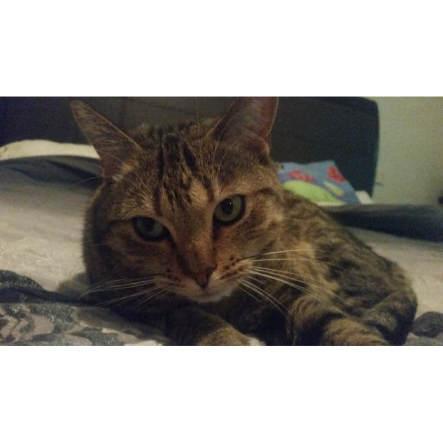 Photo of Bastet (Bassy) | $50 Adoption Fee