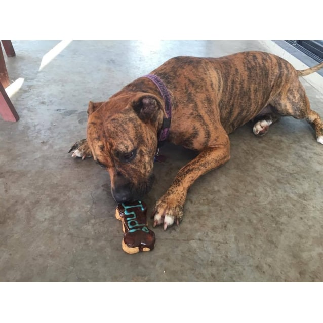 Photo of Indi (Trial 15/2/15) Mastiff X Staffy (Low Maint)