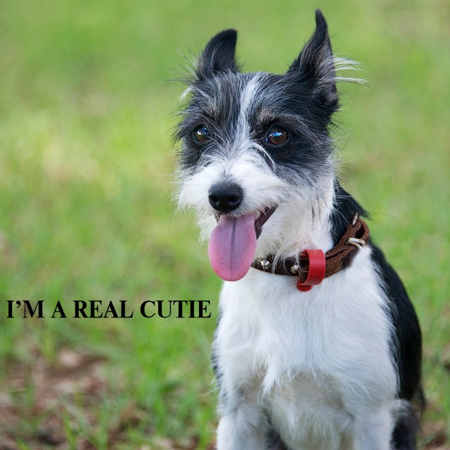 Toto Small Female Tenterfield Terrier X Wirehaired Jack Russell