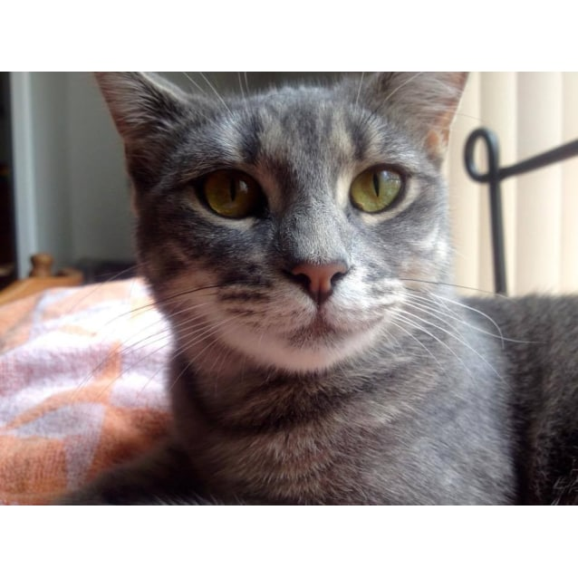 Photo of Galadriel (Blue Tabby)