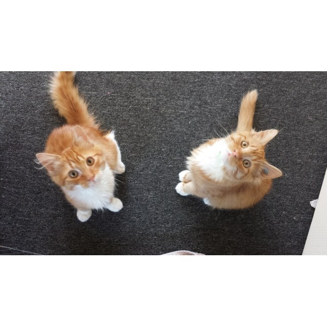 Photo of Cheezel & Twistie (Kitten Brothers)