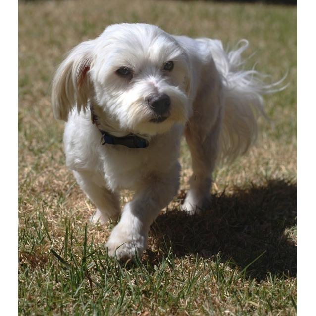 Mr Bob Small Male Bichon Frise X Maltese X Shih Tzu Mix Dog In Nsw