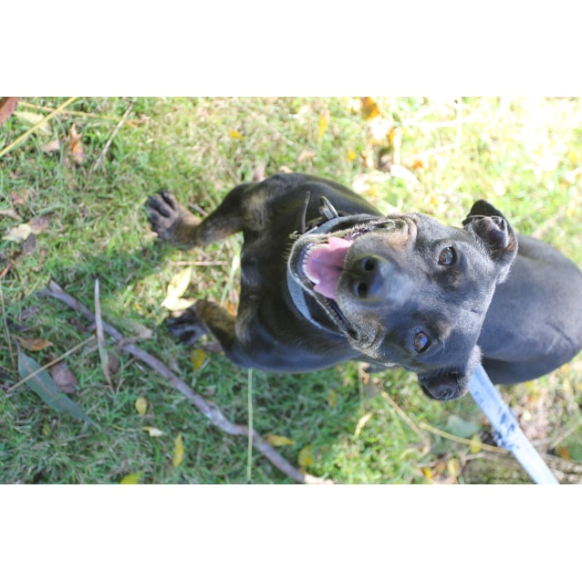 Missy Small Female Staffordshire Bull Terrier X Dachshund Smooth
