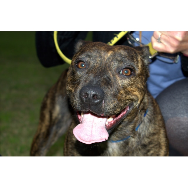 Photo of Sasha ~ Staffy X Greyhound (On Trial 23/8/15)