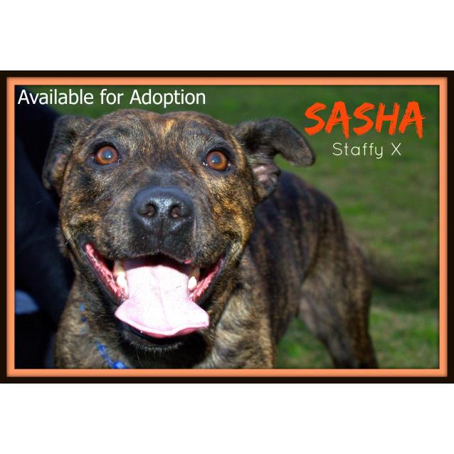 Photo of Sasha ~ Staffy X Greyhound (On Trial 23/8/15)
