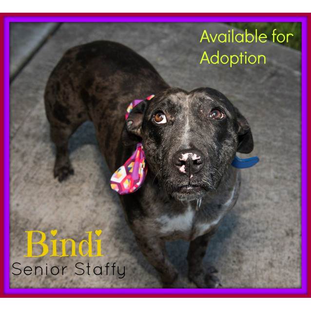 Photo of Bindi ~ Senior Staffy (Adopted 16/7/16)