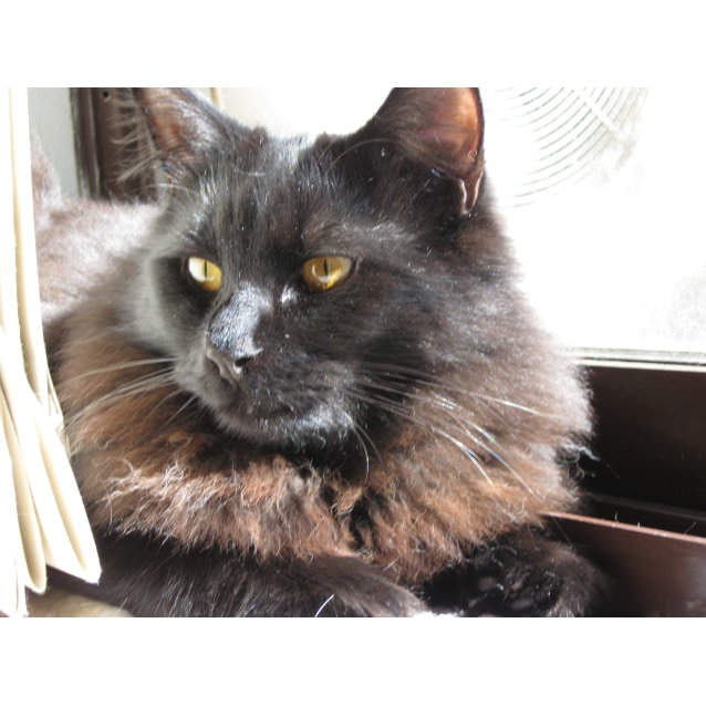 Photo of Gimli  (Mix Of Norwegian Forest)