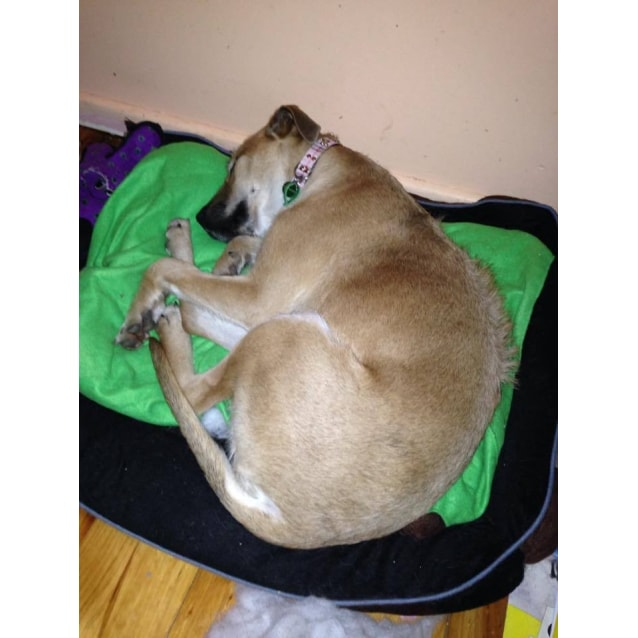 Photo of Taz (Foster Carer Needed)