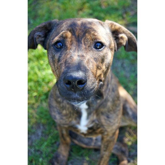 Mollie Large Female Boxer X Golden Retriever X Staffy Mix Dog In