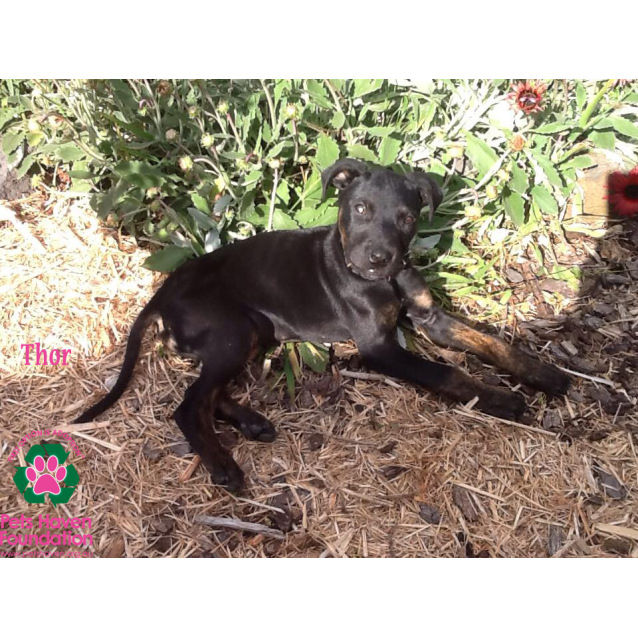 Thor Medium Male Great Dane X Rottweiler Mix Dog In Vic Petrescue
