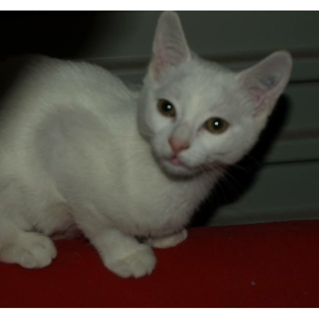 Photo of Curlea Kitten