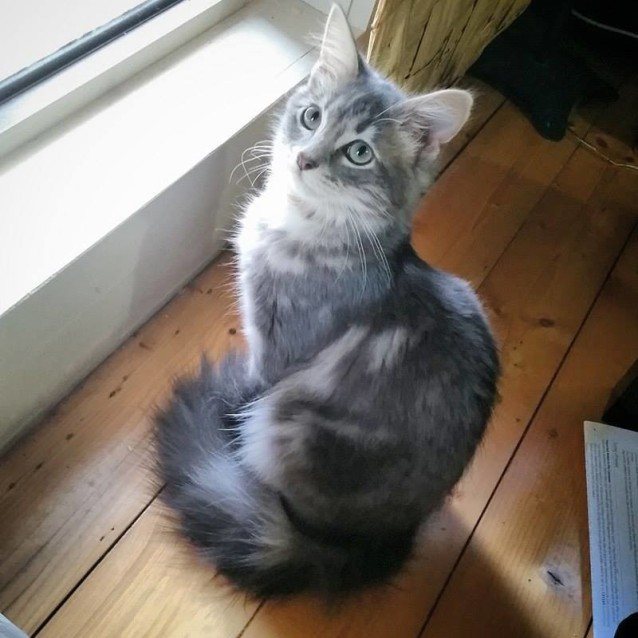 Photo of Lily Cat (Lil) Located In Geelong