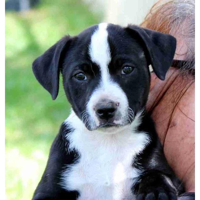 Willow Medium Male Border Collie X Staffy Mix Dog In Nsw