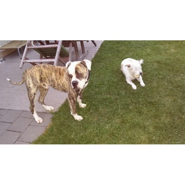 Photo of Dennis ~ American Bulldog