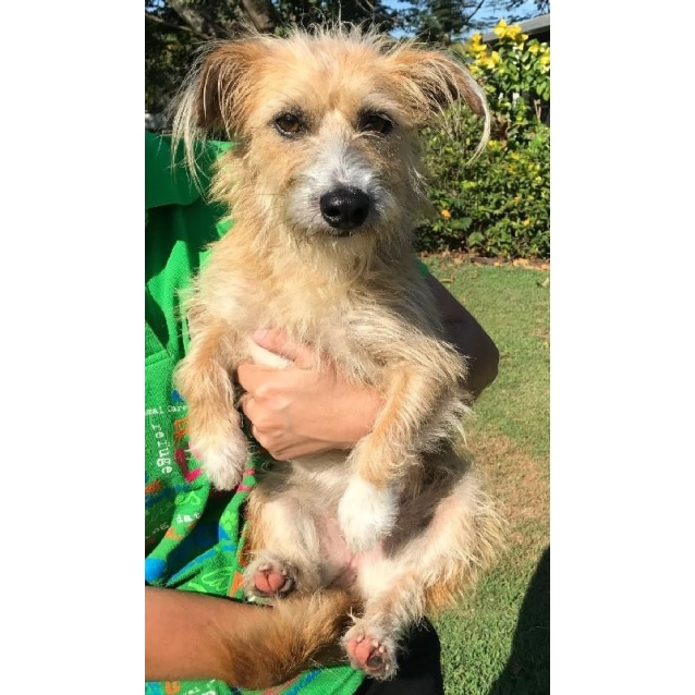 Trixie Small Female Wirehaired Jack Russell X Australian Terrier