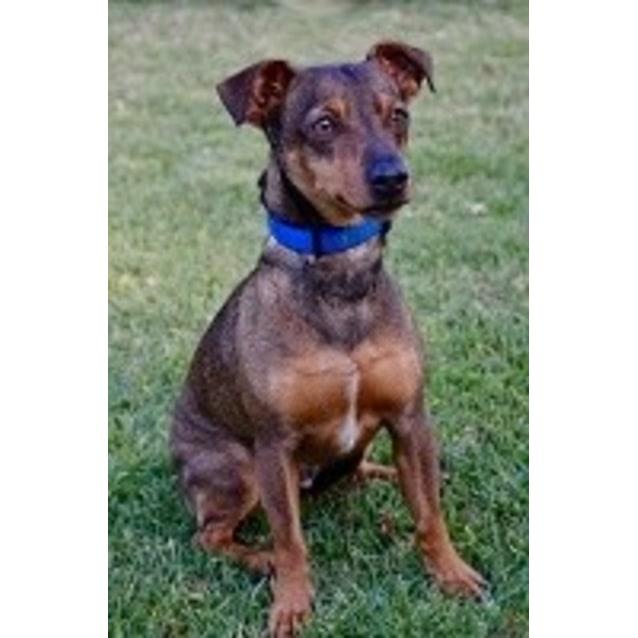 Chad Small Male Dachshund X Mini Pinscher Mix Dog In Nsw Petrescue