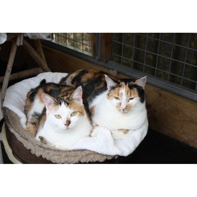 Photo of Pound Cats | Pixie & Dixie..Bonded Sisters