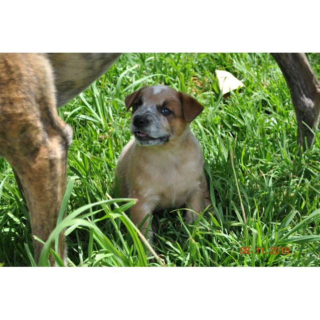 Heeler x puppies - Medium Female Red Heeler Mix Dog in VIC