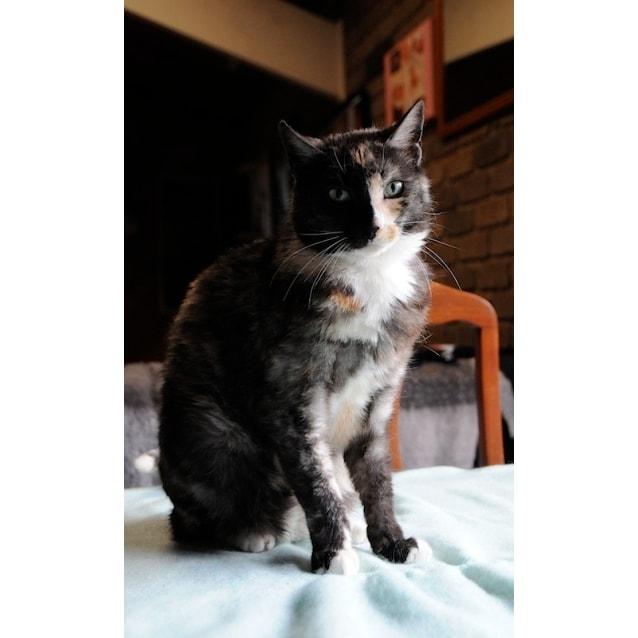 Photo of Iris 💐 Laidback Decorative Cat