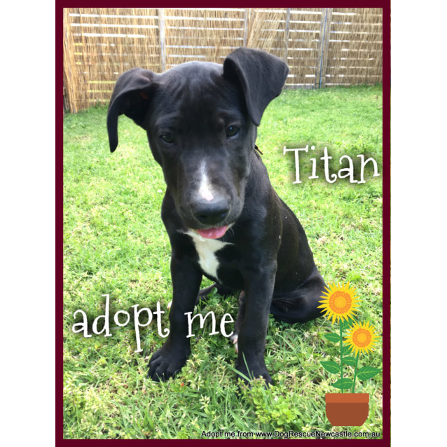 Photo of Titan ~ Bull Terrier X Mastiff (On Trial 18/12/16)