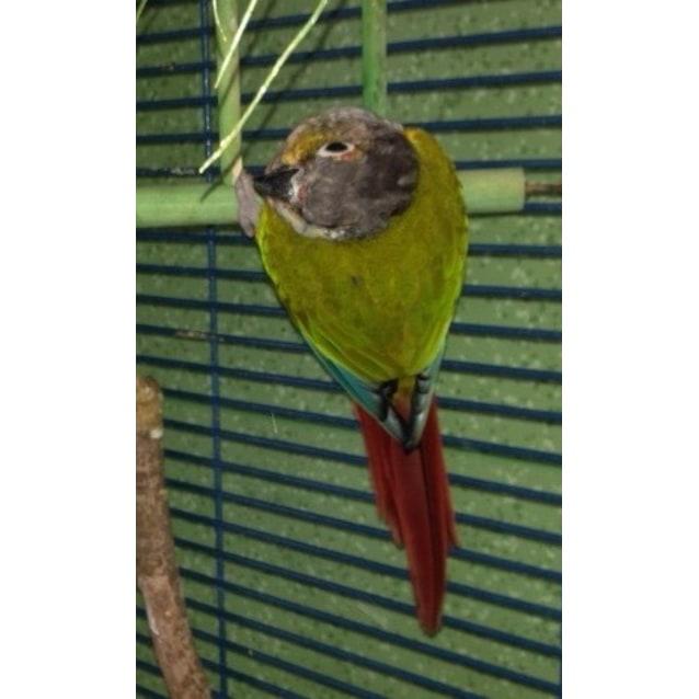 Twiggy - Female Conure Green Cheek Mix Bird in QLD - PetRescue