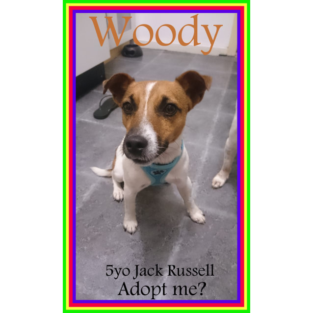 Photo of Woody ~ Jack Russell Terrier (On Trial 12/03/16)
