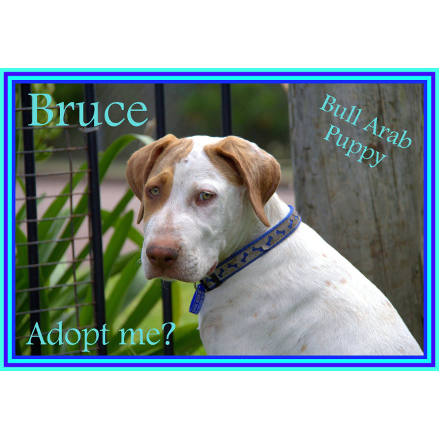 Photo of Bruce ~ Bull Arab ~ Puppy (On Trial 29/2/16)