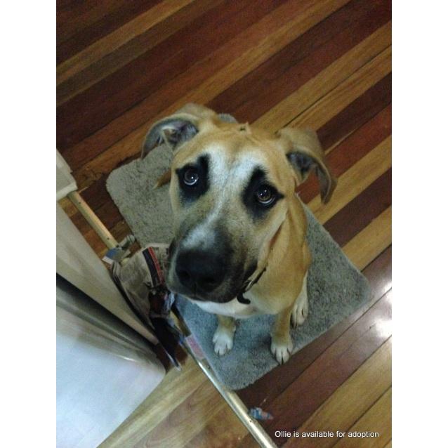 Photo of Ollie ~ Mastiff X Great Dane (On Trial 30/4/16)