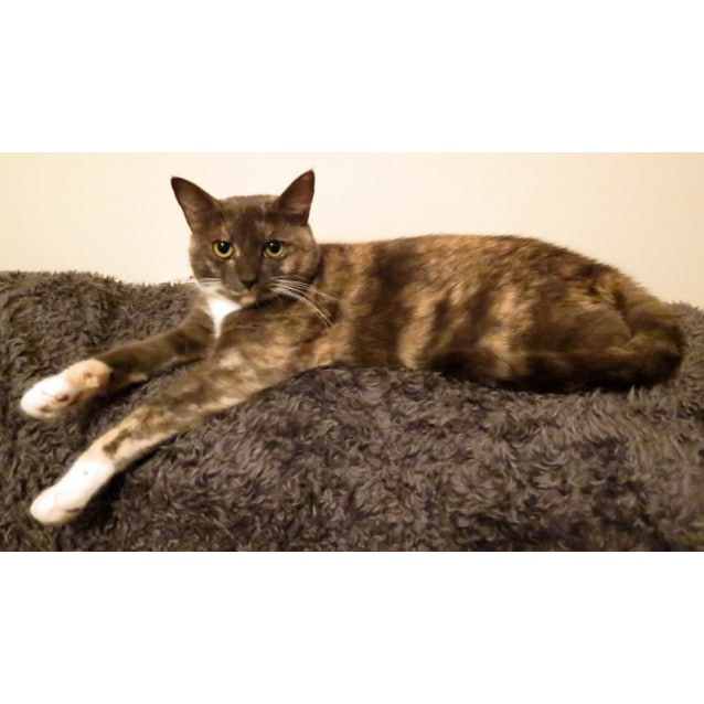 """Photo of """"Toffee"""" $49   Purrfect Match"""