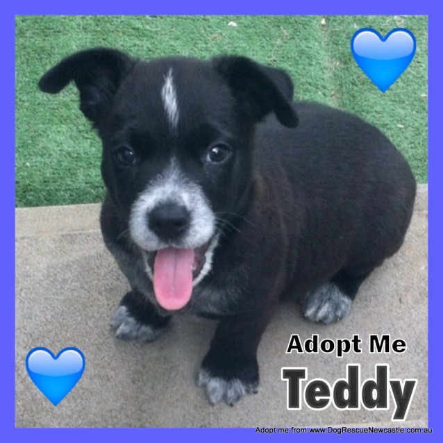 Photo of Teddy ~ Cattle X Puppy (On Trial 27/05/16)