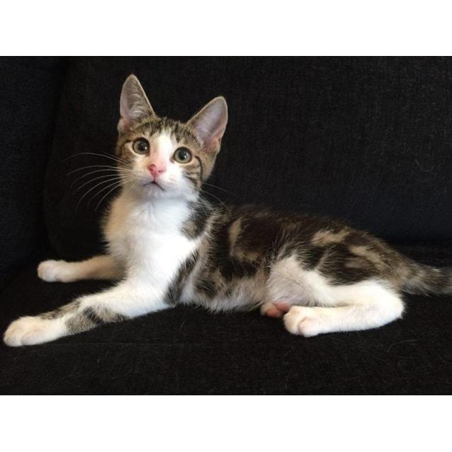 Photo of Super Smoocher Dixon (Cat And Dog Friendly)