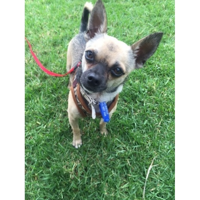 Photo of Rex ~ Chihuahua (Adopted By Carer)