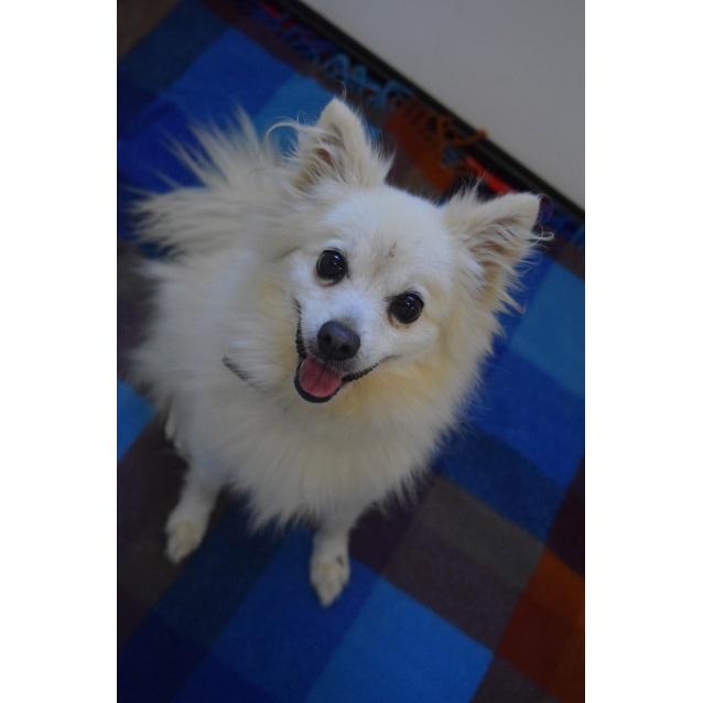 Tina Small Female Pomeranian X Japanese Spitz Mix Dog In Qld
