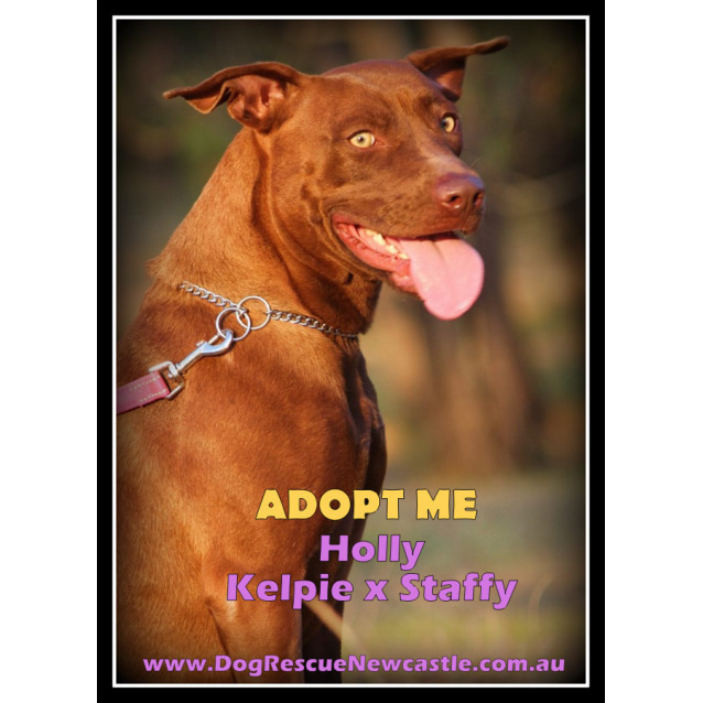 Photo of Holly ~ Kelpie X Staffy (On Trial 25/5/16)