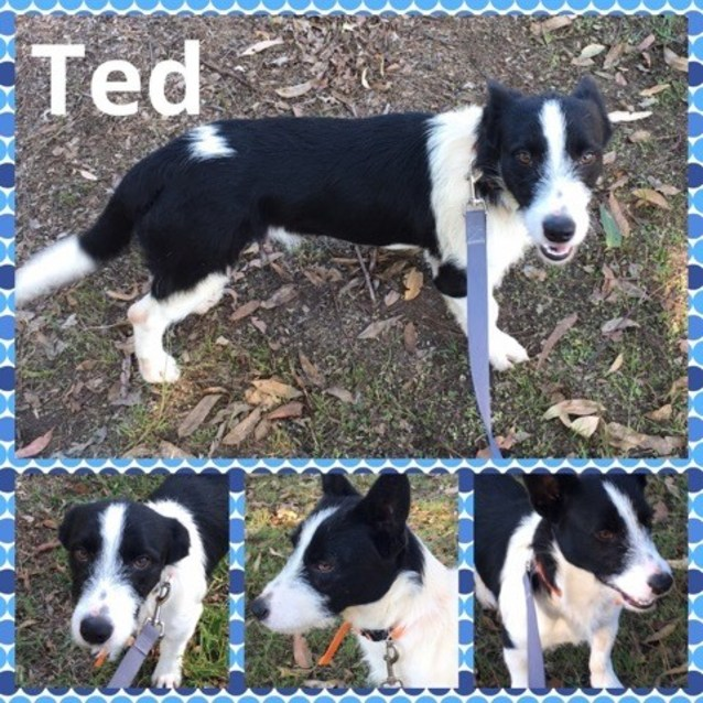 border collie jack russell terrier mix